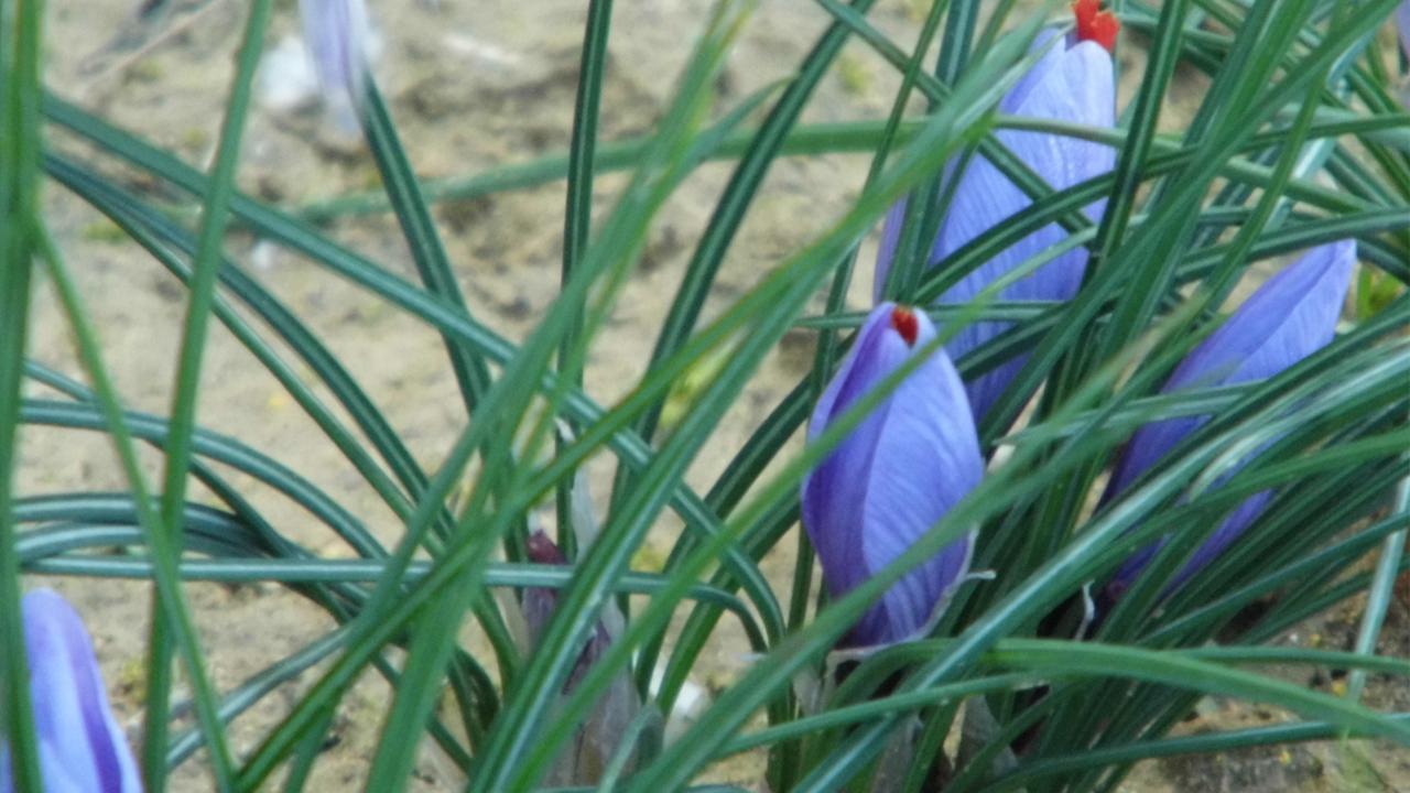 pianta dello zafferano